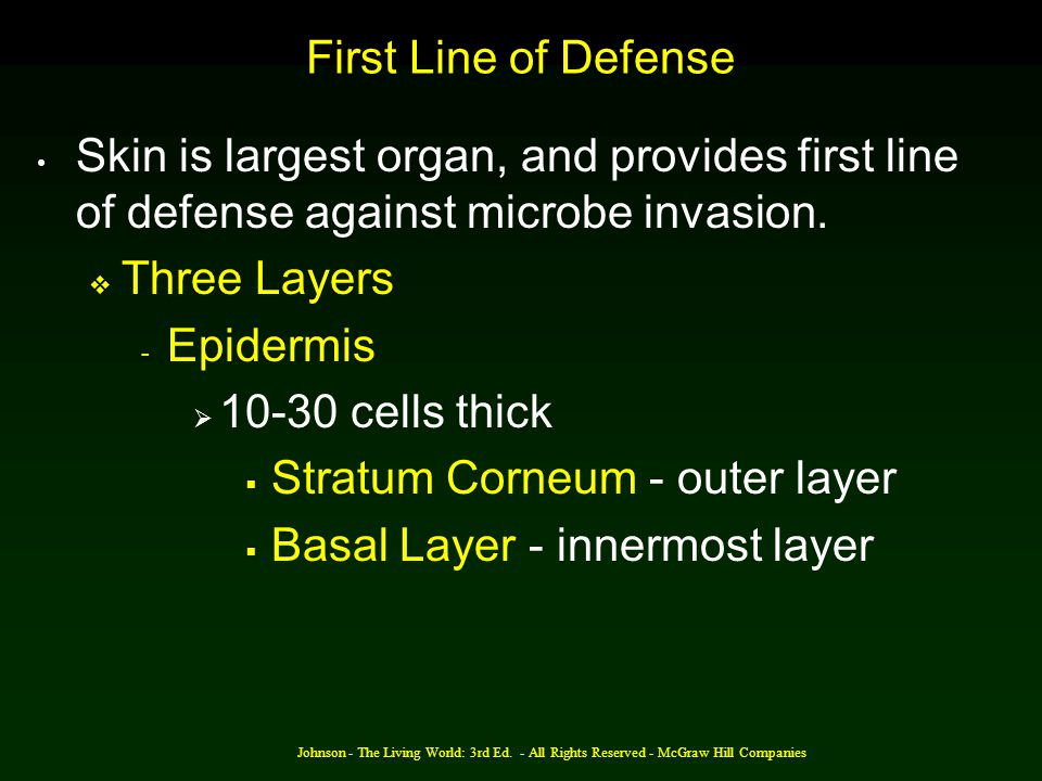 Stratum Corneum - outer layer Basal Layer - innermost layer