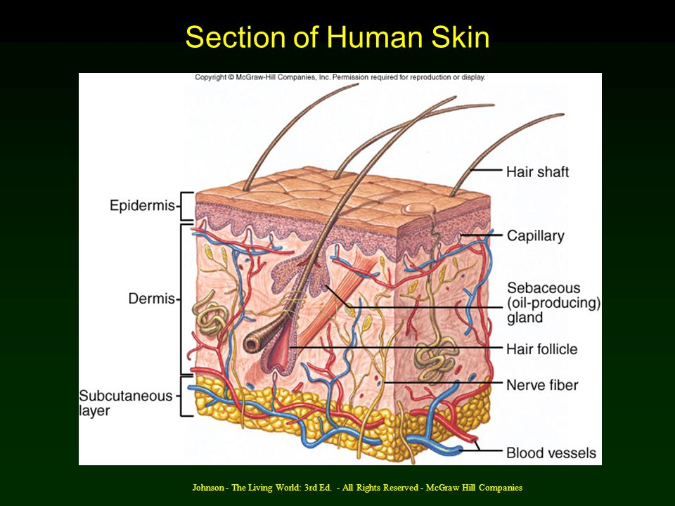 Section of Human Skin Johnson - The Living World: 3rd Ed.
