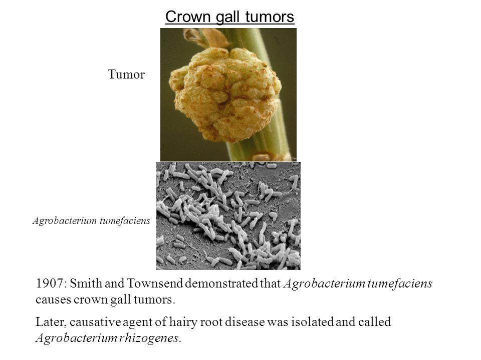 Crown gall tumors Tumor