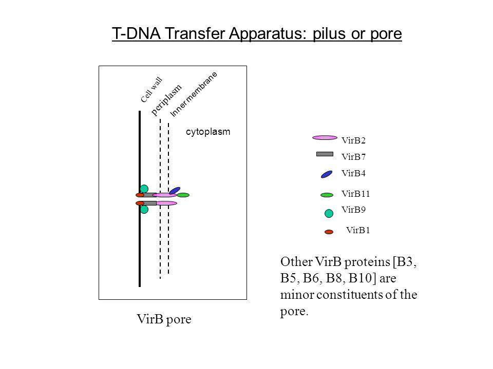 T-DNA Transfer Apparatus: pilus or pore