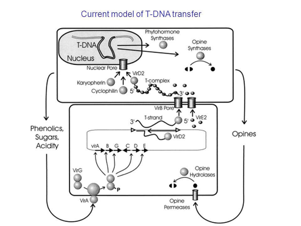 Current model of T-DNA transfer