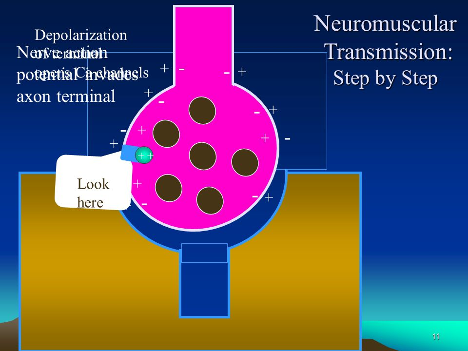 Neuromuscular Transmission: Step by Step - - Nerve action