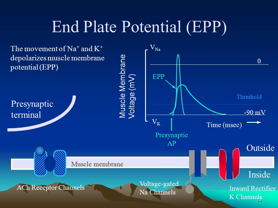 End Plate Potential (EPP)