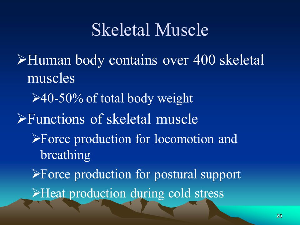 Skeletal Muscle Human body contains over 400 skeletal muscles