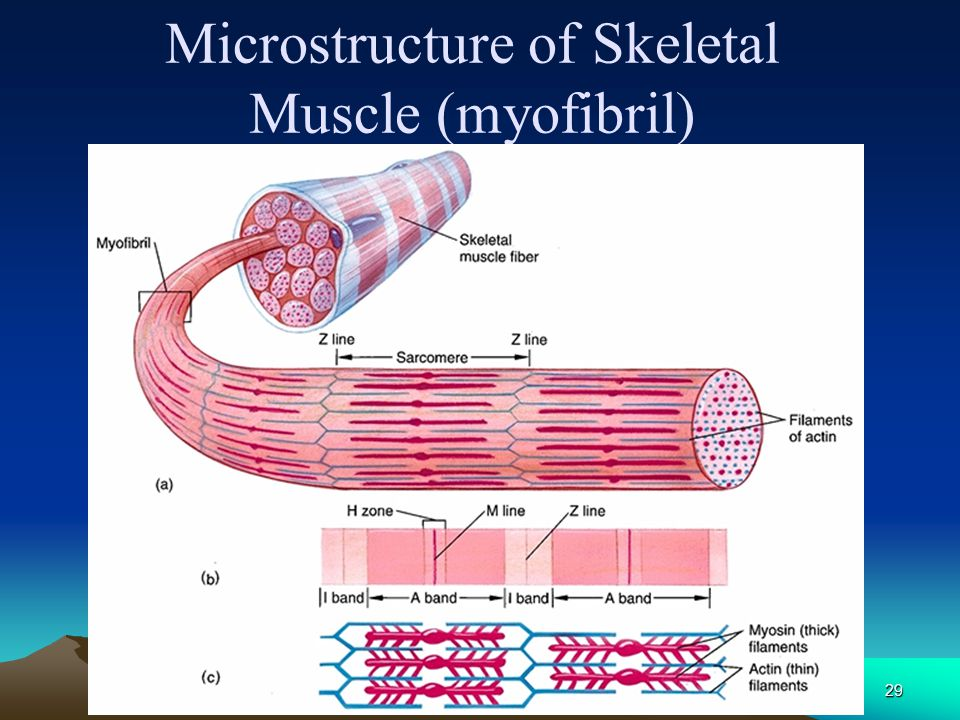 Microstructure of Skeletal Muscle (myofibril)