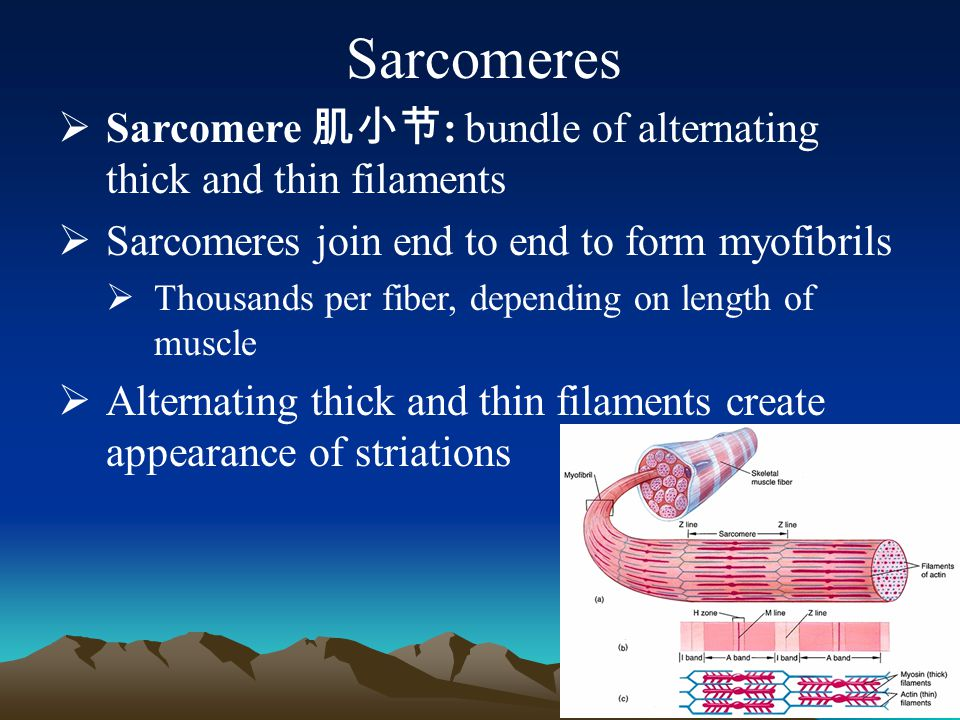 Sarcomeres Sarcomere 肌小节: bundle of alternating thick and thin filaments. Sarcomeres join end to end to form myofibrils.