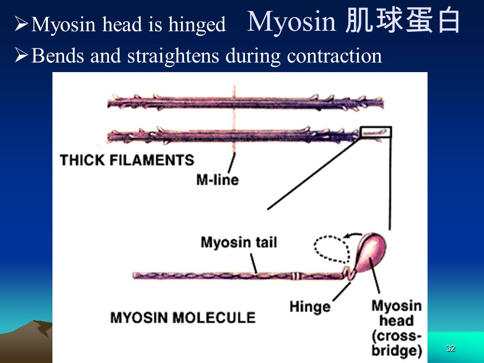 Myosin 肌球蛋白 Myosin head is hinged