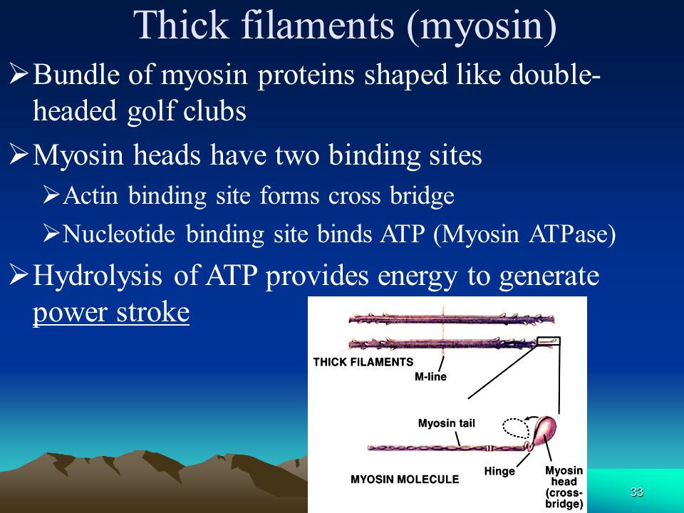 Thick filaments (myosin)