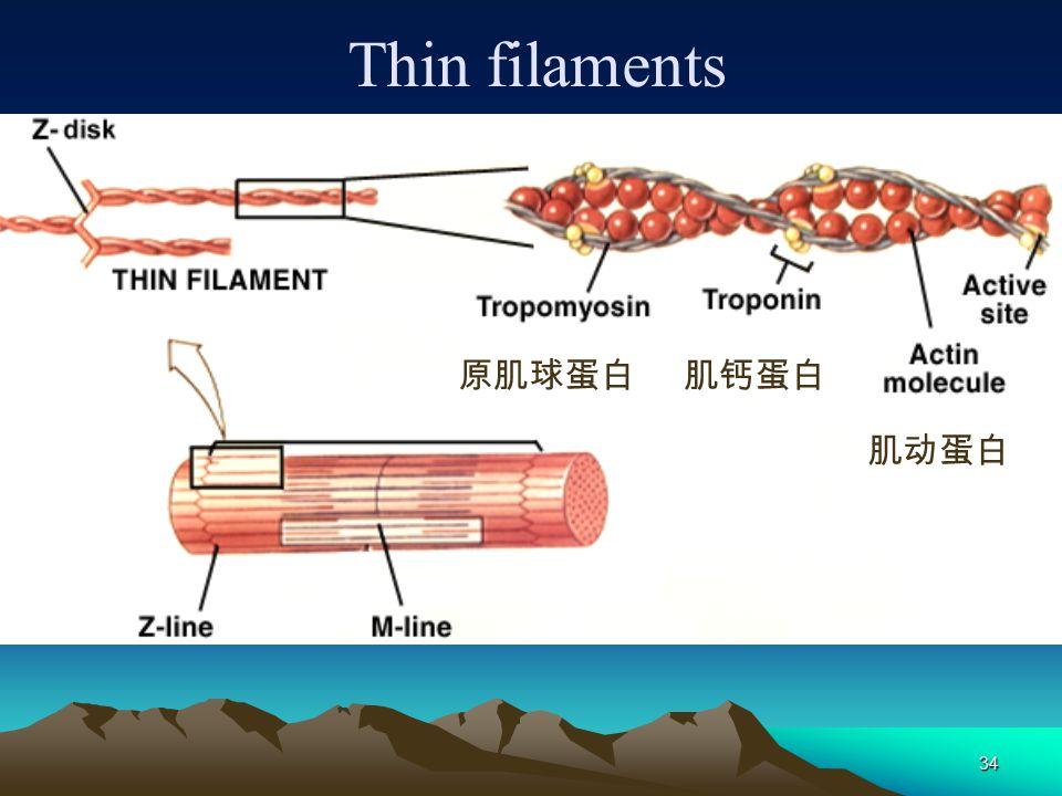 Thin filaments 原肌球蛋白 肌钙蛋白 肌动蛋白