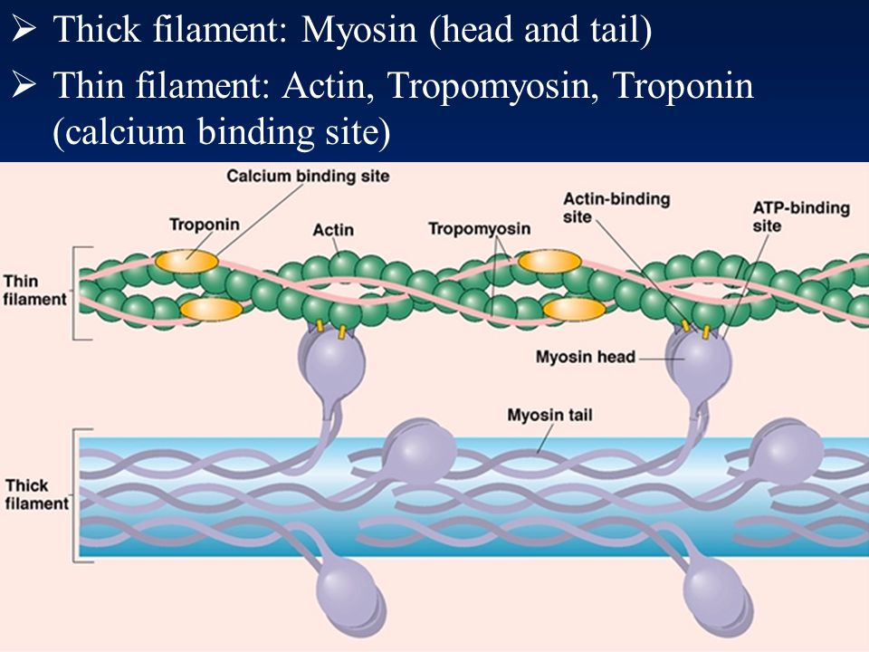 Thick filament: Myosin (head and tail)