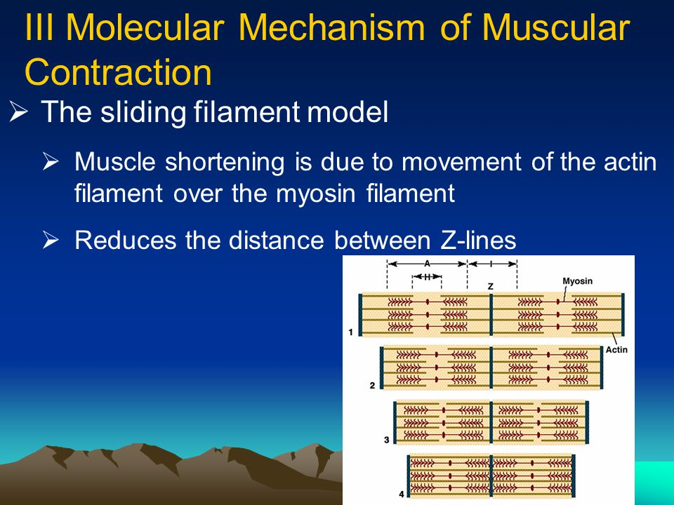 III Molecular Mechanism of Muscular Contraction