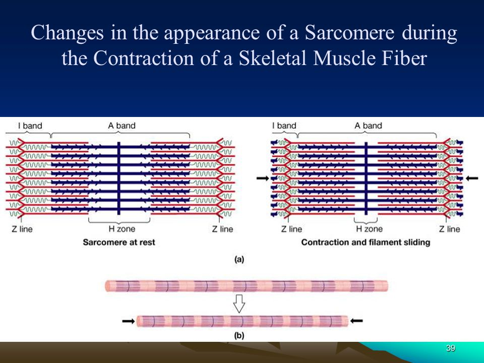 Changes in the appearance of a Sarcomere during the Contraction of a Skeletal Muscle Fiber