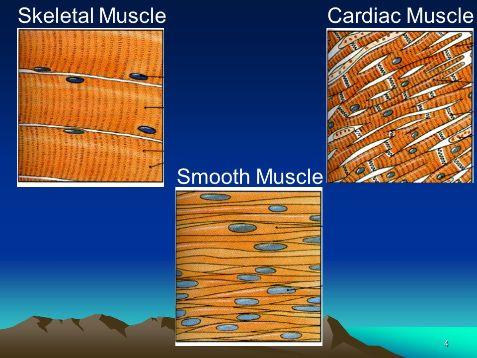 Skeletal Muscle Cardiac Muscle Smooth Muscle