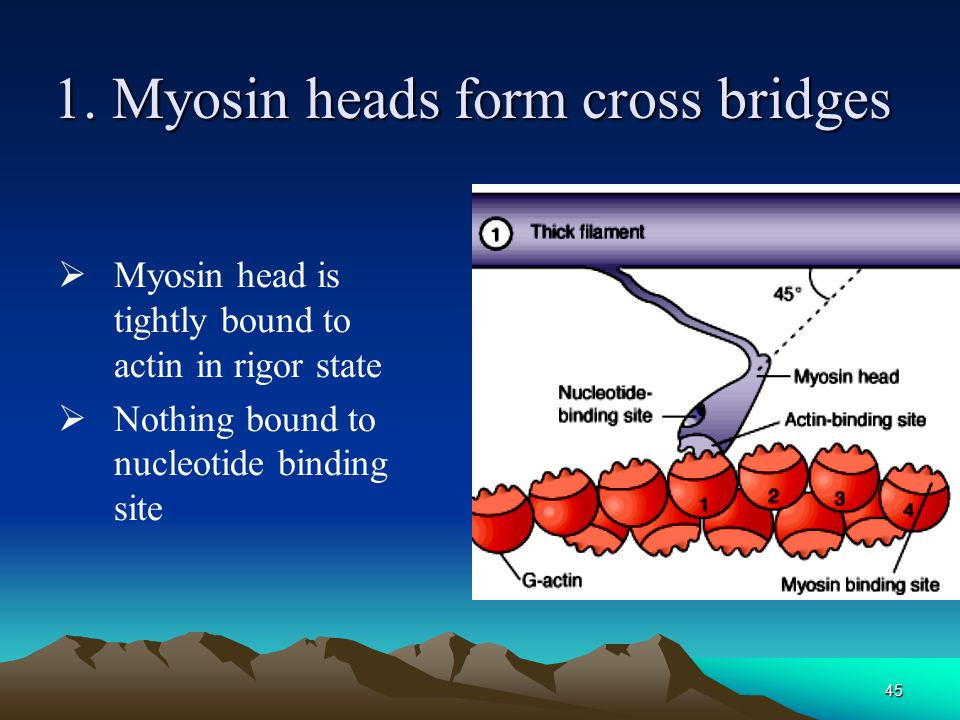 1. Myosin heads form cross bridges