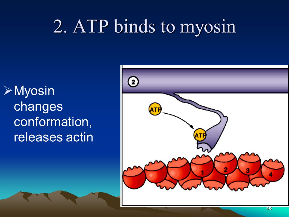 2. ATP binds to myosin Myosin changes conformation, releases actin
