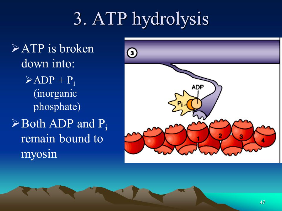 3. ATP hydrolysis ATP is broken down into: