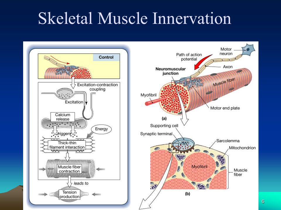 Skeletal Muscle Innervation