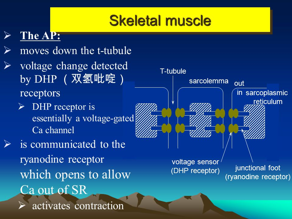 Skeletal muscle The AP: moves down the t-tubule