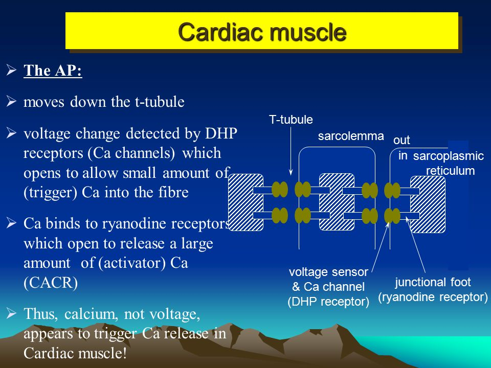 Cardiac muscle The AP: moves down the t-tubule