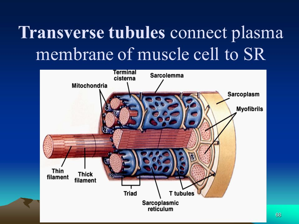 Transverse tubules connect plasma membrane of muscle cell to SR