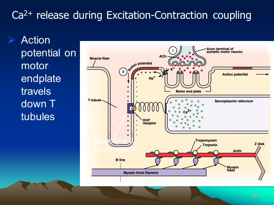Ca2+ release during Excitation-Contraction coupling