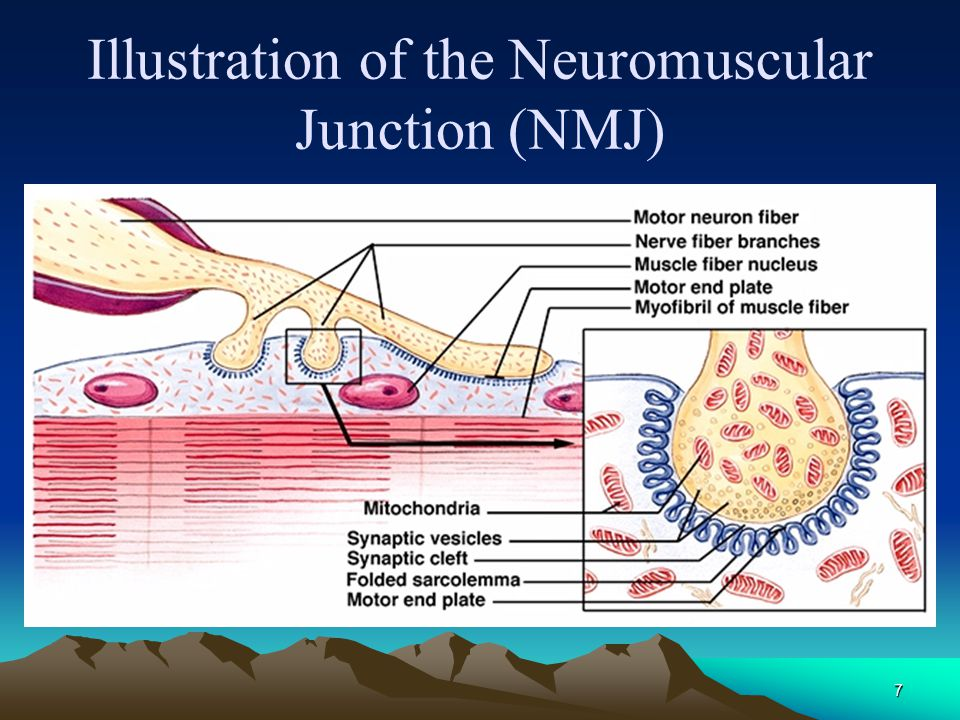 Illustration of the Neuromuscular Junction (NMJ)
