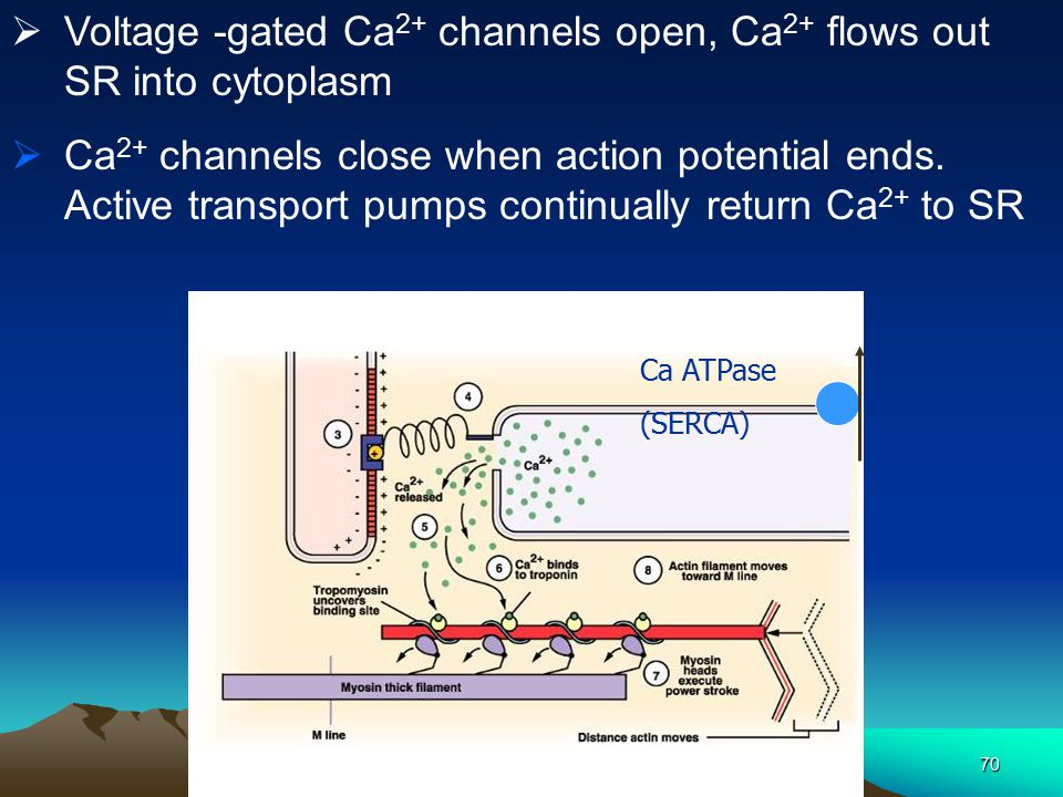 Voltage -gated Ca2+ channels open, Ca2+ flows out SR into cytoplasm