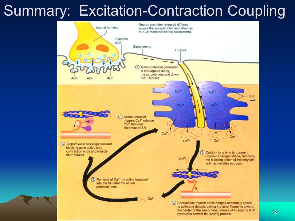Summary: Excitation-Contraction Coupling
