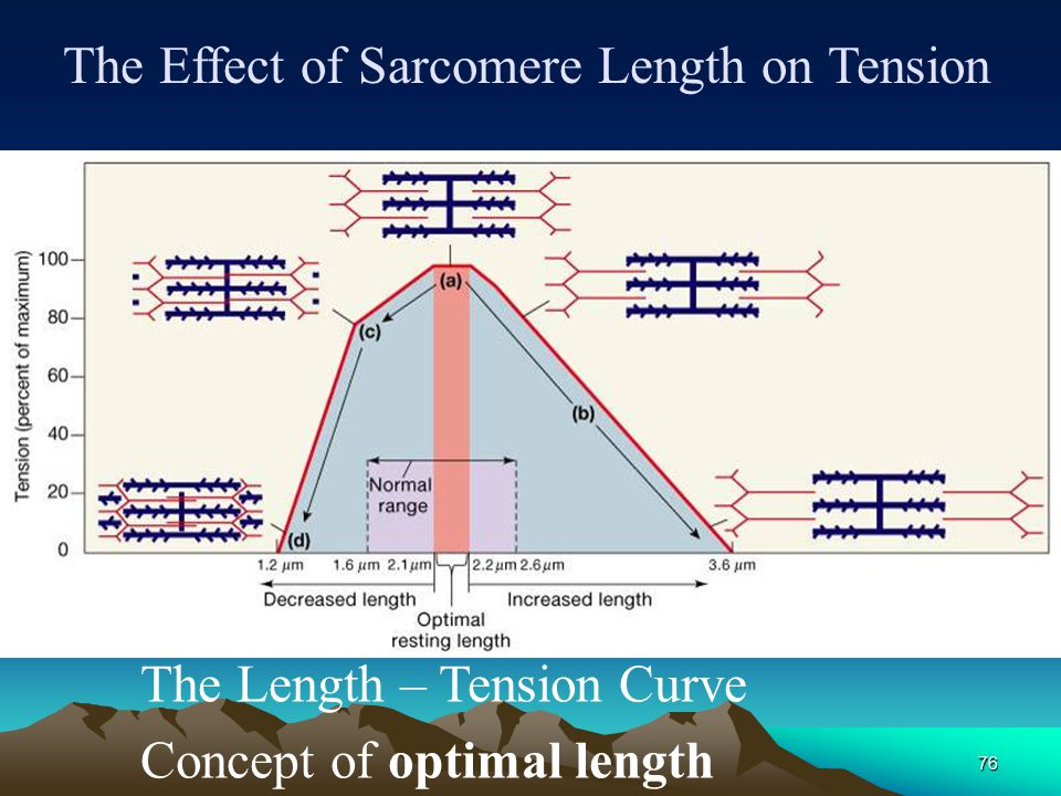 The Effect of Sarcomere Length on Tension