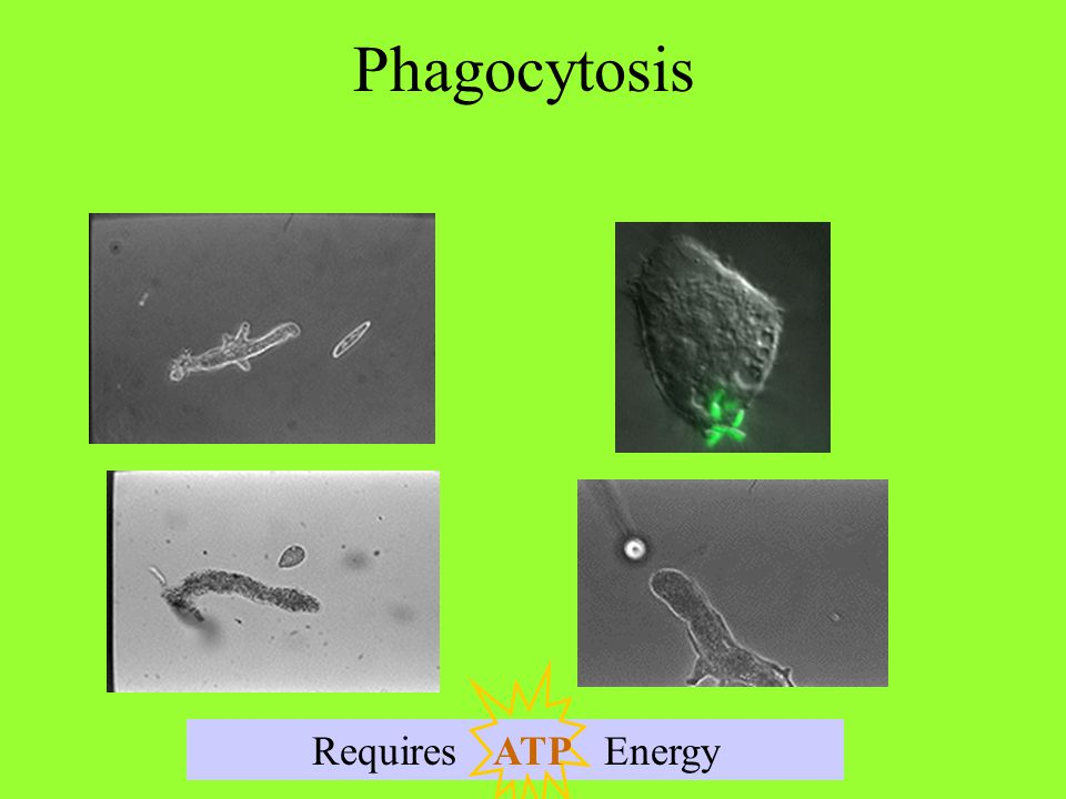 Phagocytosis Requires Energy ATP