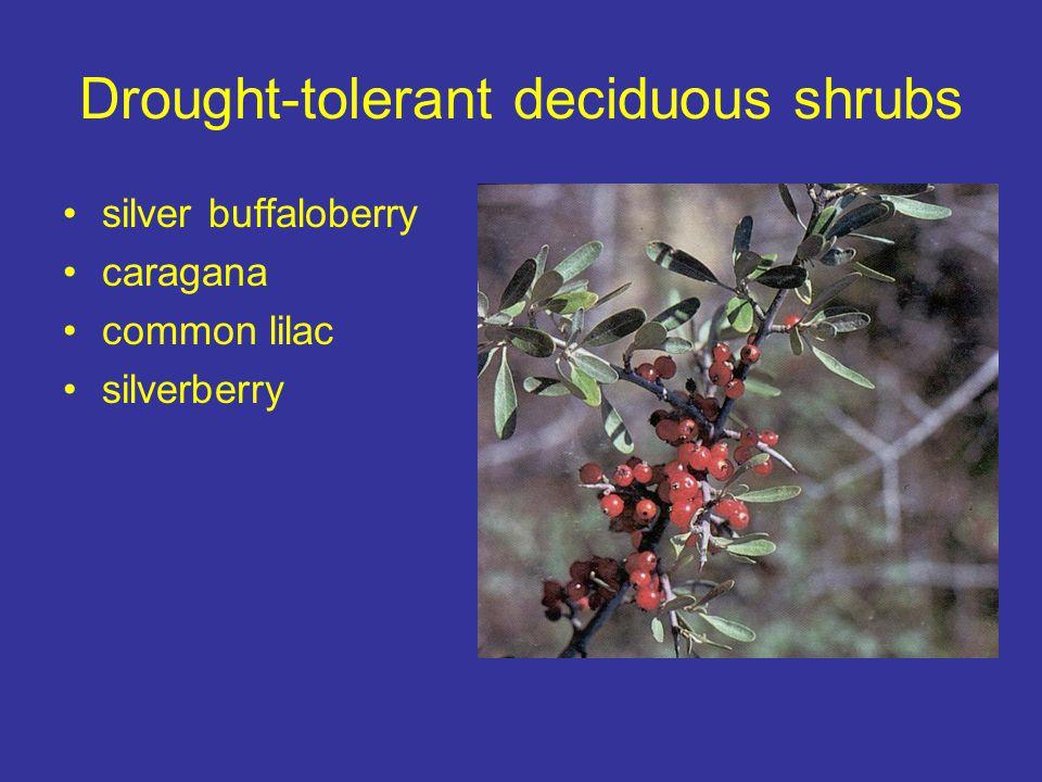Drought-tolerant deciduous shrubs