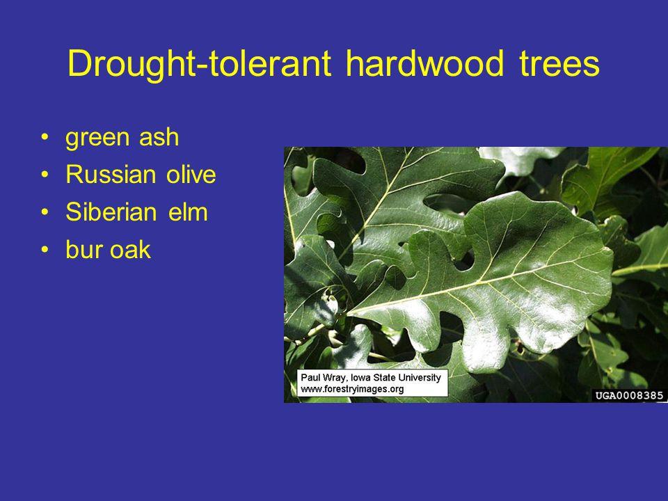 Drought-tolerant hardwood trees