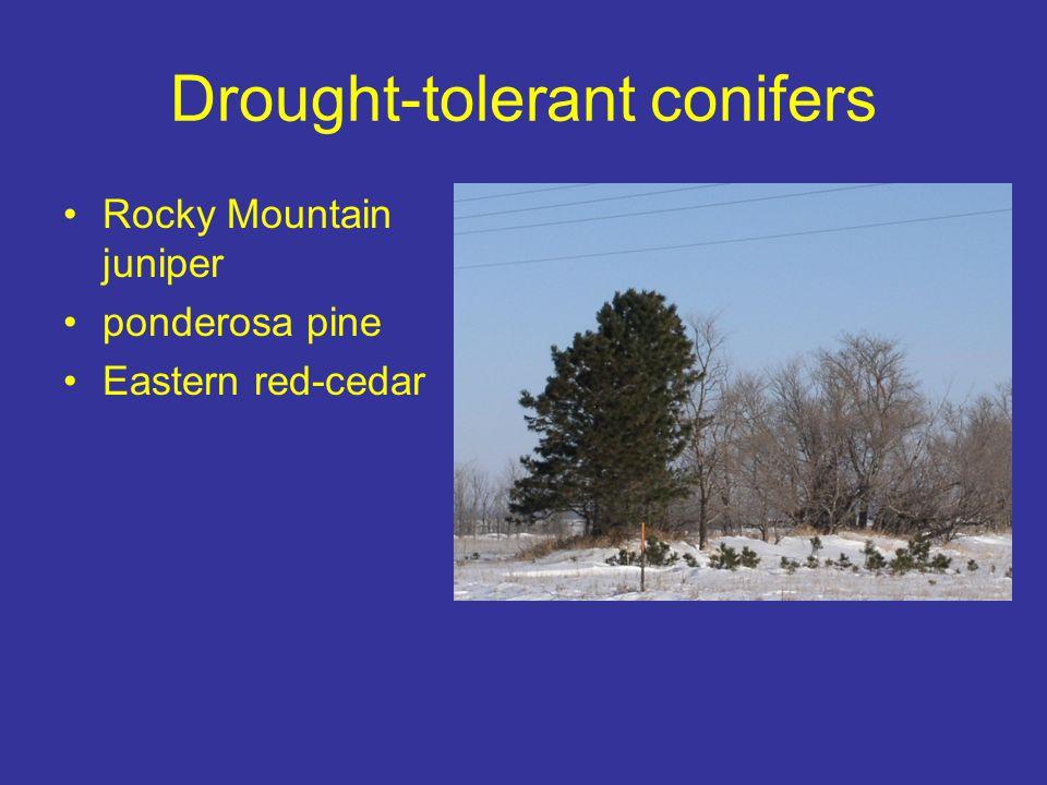 Drought-tolerant conifers
