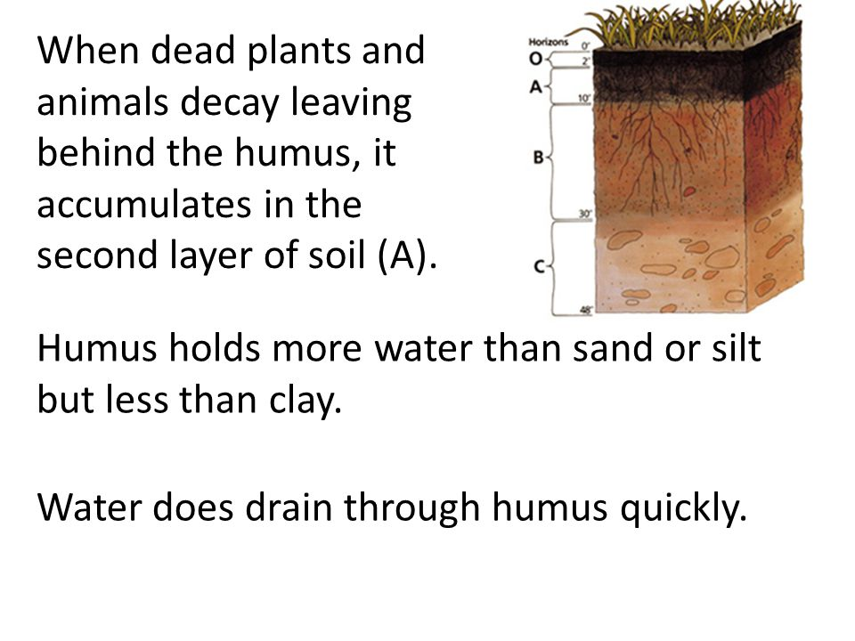 When dead plants and animals decay leaving behind the humus, it accumulates in the second layer of soil (A).
