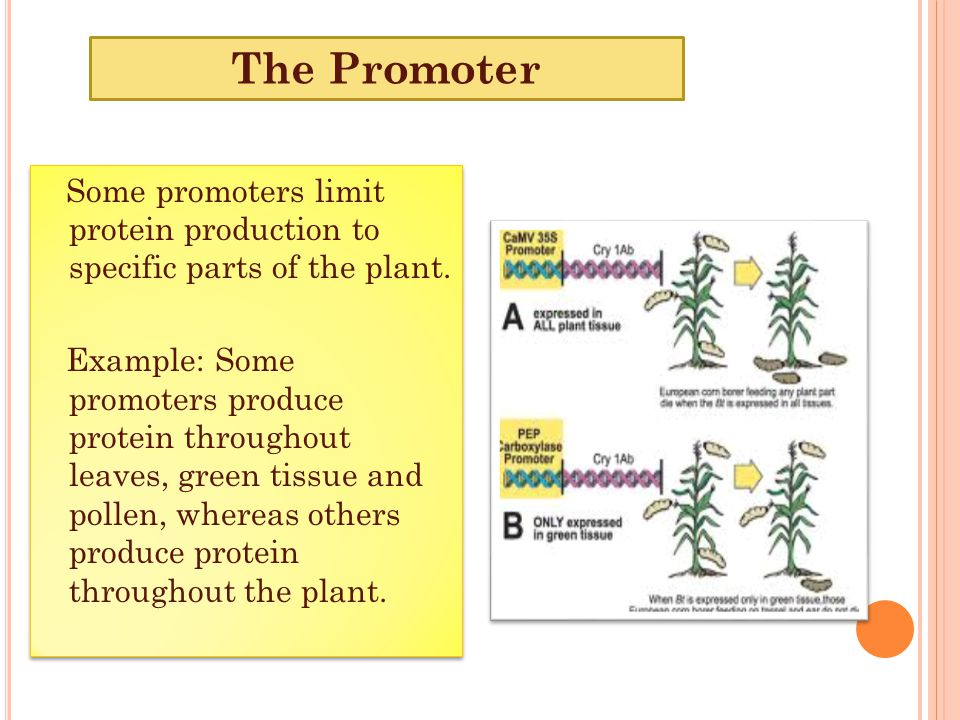 The Promoter Some promoters limit protein production to specific parts of the plant.