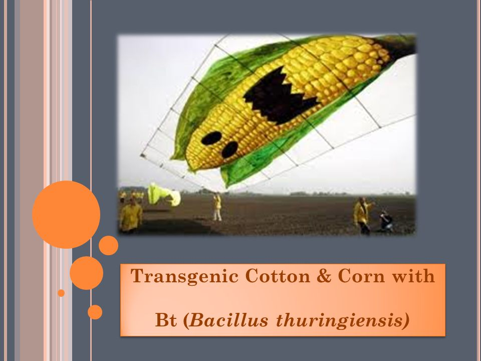 Transgenic Cotton & Corn with Bt (Bacillus thuringiensis)