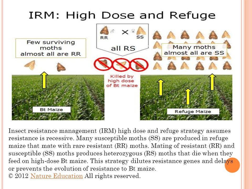 Insect resistance management (IRM) high dose and refuge strategy assumes resistance is recessive. Many susceptible moths (SS) are produced in refuge maize that mate with rare resistant (RR) moths. Mating of resistant (RR) and susceptible (SS) moths produces heterozygous (RS) moths that die when they feed on high-dose Bt maize. This strategy dilutes resistance genes and delays or prevents the evolution of resistance to Bt maize.