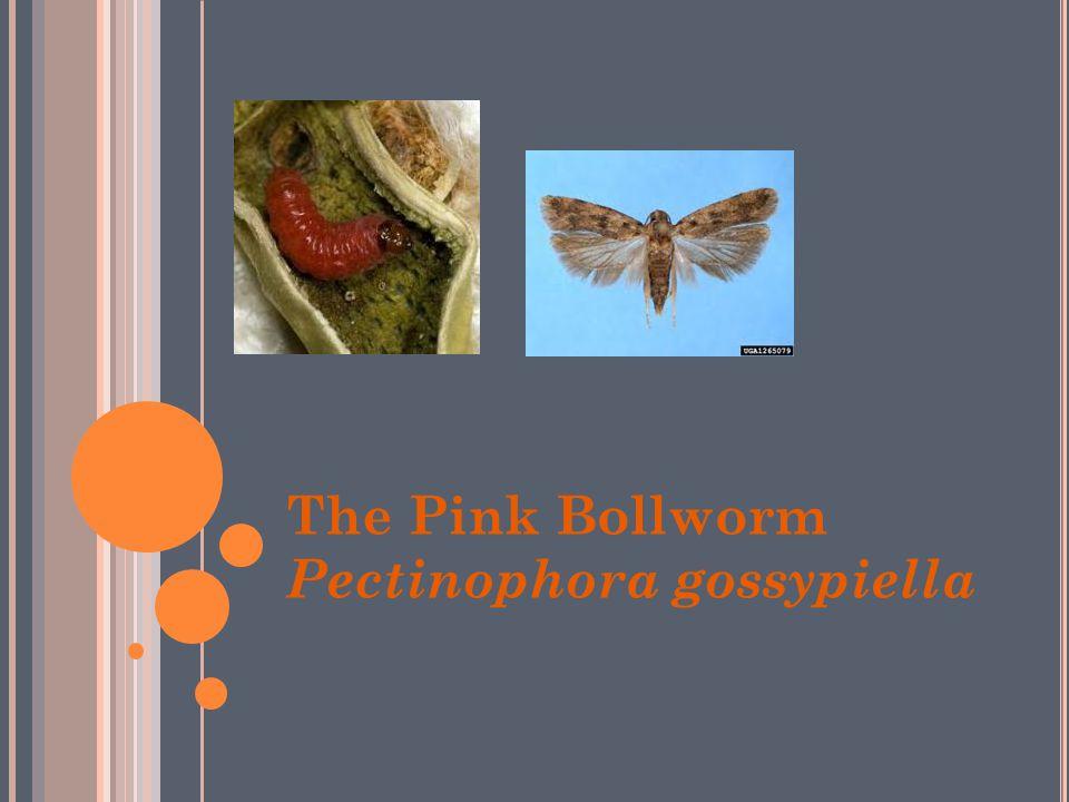The Pink Bollworm Pectinophora gossypiella