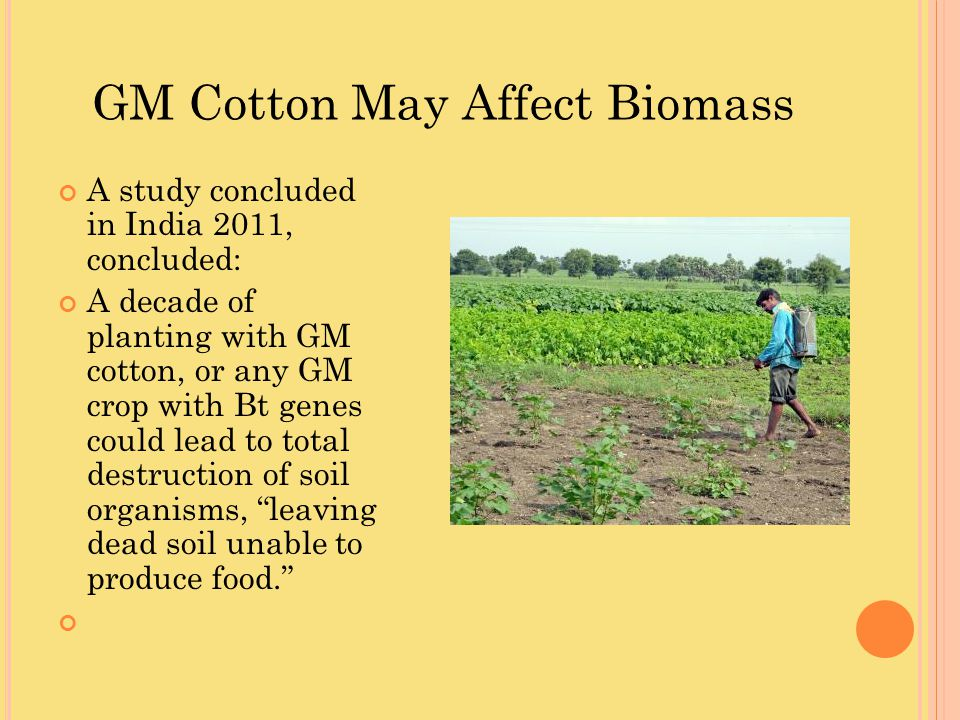 GM Cotton May Affect Biomass
