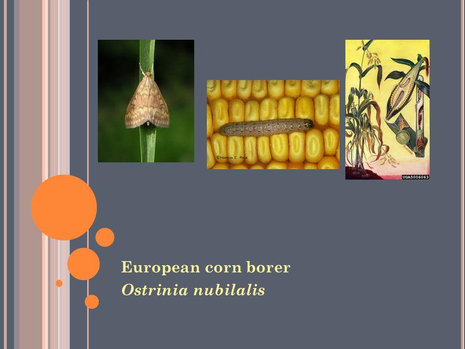 European corn borer Ostrinia nubilalis