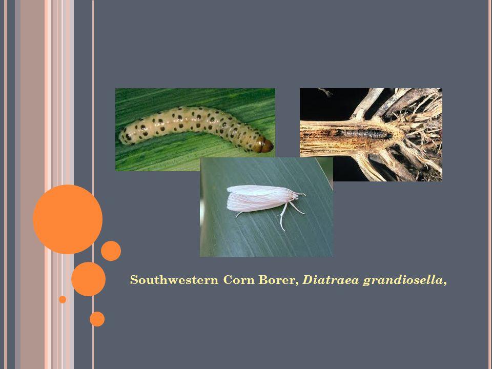 Southwestern Corn Borer, Diatraea grandiosella,