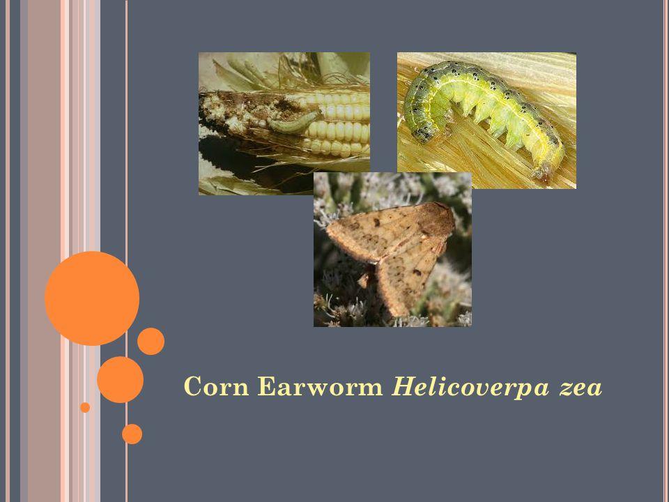 Corn Earworm Helicoverpa zea