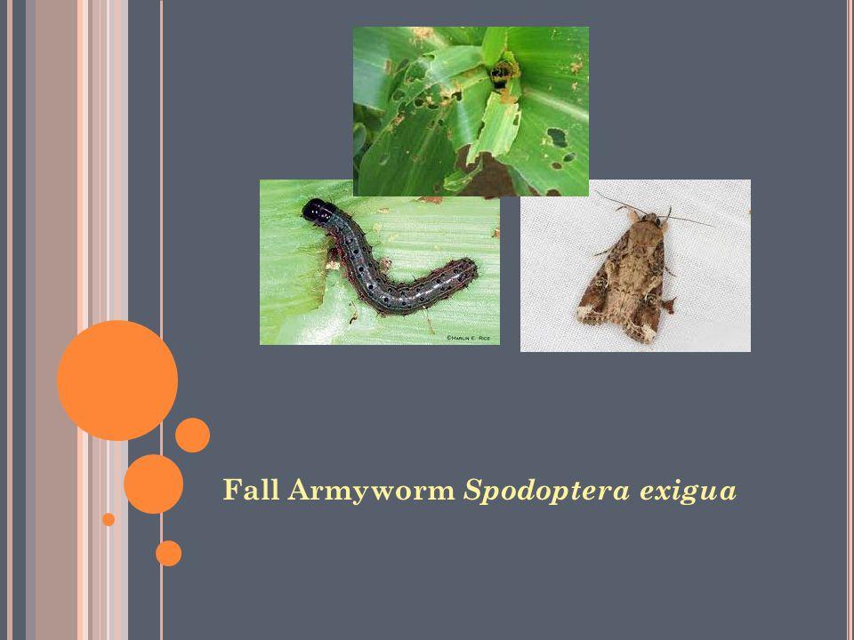 Fall Armyworm Spodoptera exigua