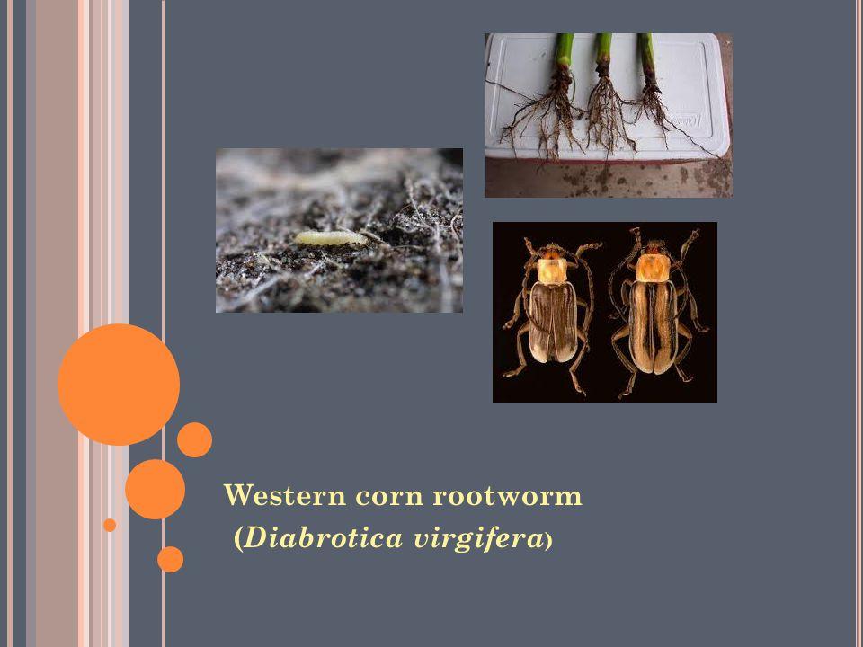 Western corn rootworm (Diabrotica virgifera)