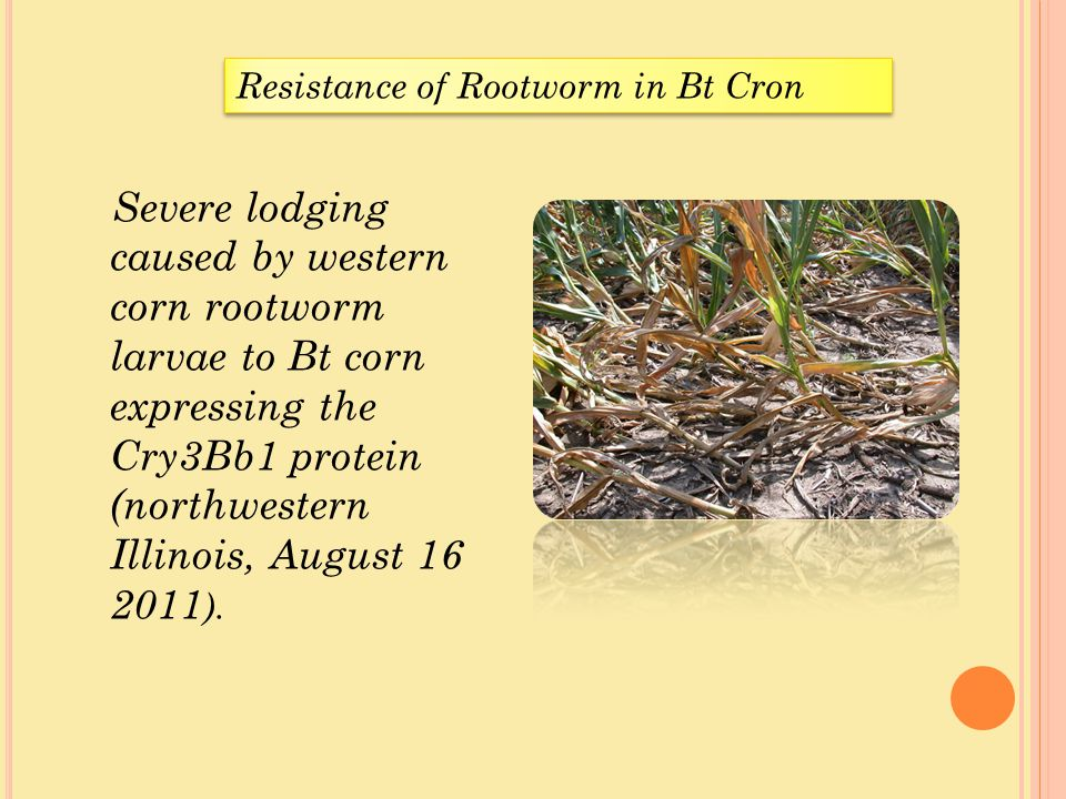 Resistance of Rootworm in Bt Cron