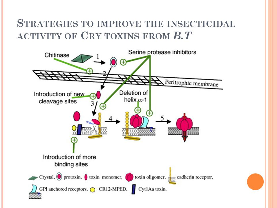 Strategies to improve the insecticidal activity of Cry toxins from B.T