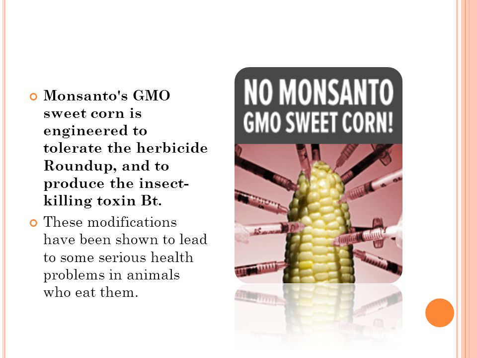 Monsanto s GMO sweet corn is engineered to tolerate the herbicide Roundup, and to produce the insect- killing toxin Bt.