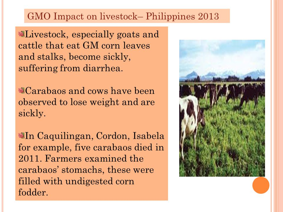 GMO Impact on livestock– Philippines 2013