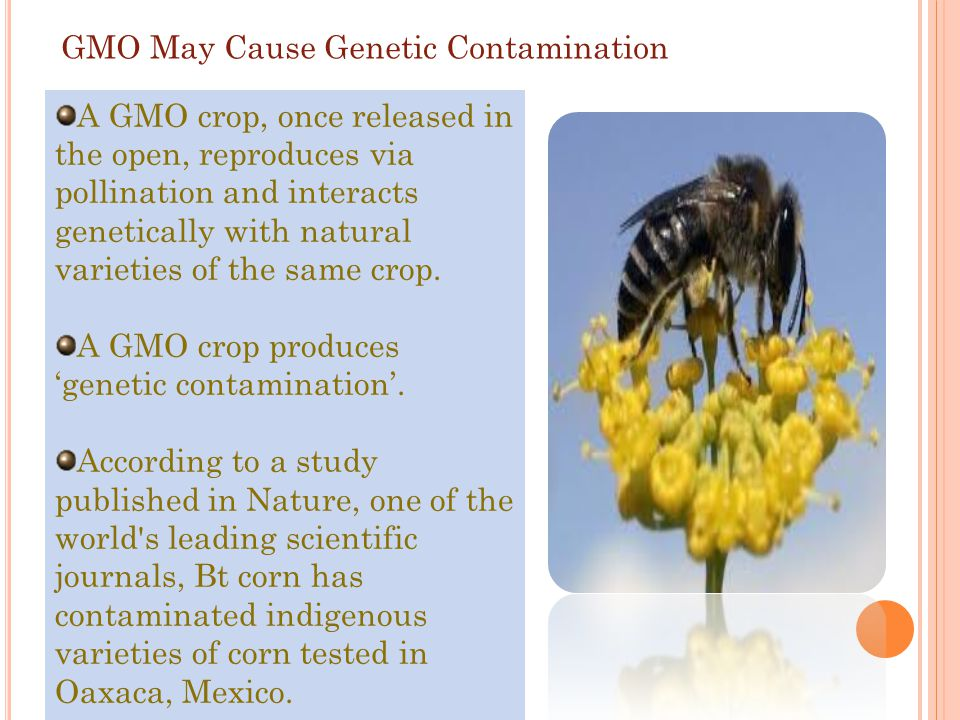 GMO May Cause Genetic Contamination
