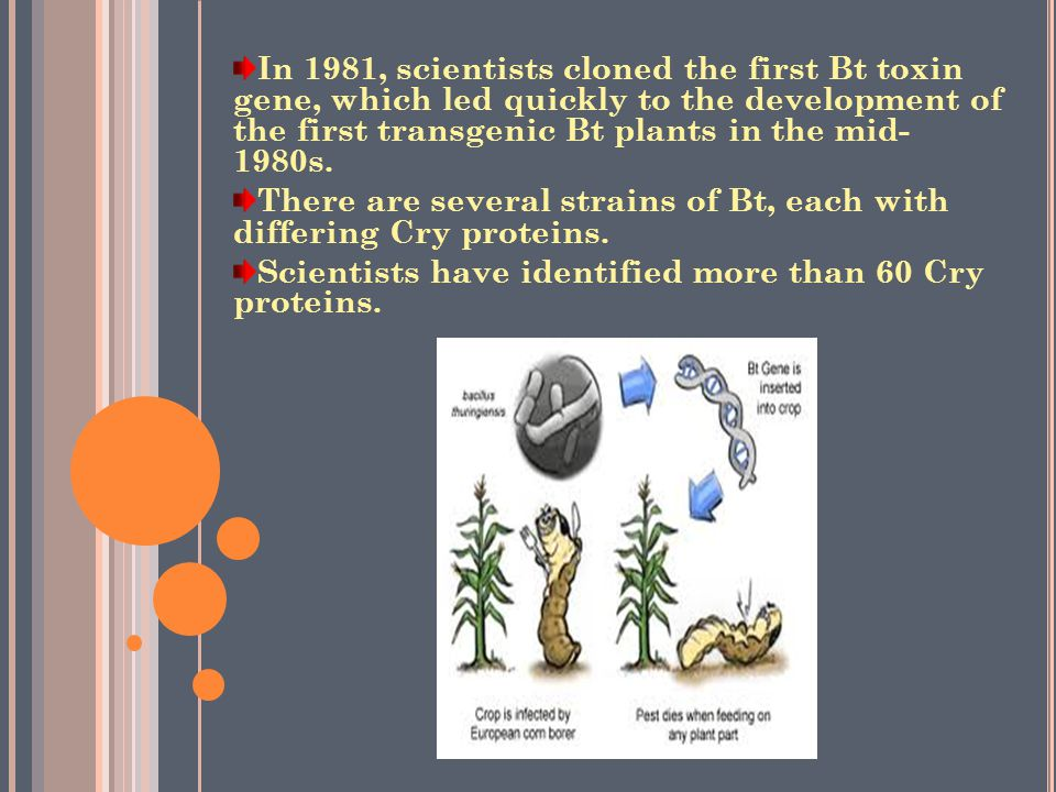 In 1981, scientists cloned the first Bt toxin gene, which led quickly to the development of the first transgenic Bt plants in the mid- 1980s.